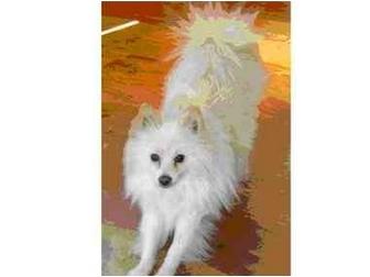 American Eskimo Dog Mix Dog for adoption in Scottsdale, Arizona - Chip