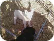 Golden Retriever/Labrador Retriever Mix Puppy for adoption in Tucson, Arizona - Bitsy