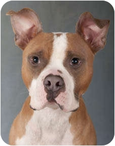 Boxer/American Pit Bull Terrier Mix Dog for adoption in Chicago, Illinois - Trax