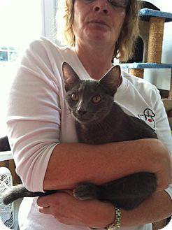 Domestic Shorthair Kitten for adoption in Hamburg, New York - Tony