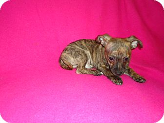 Terrier (Unknown Type, Small)/Chihuahua Mix Puppy for adoption in Allentown, Pennsylvania - Toby