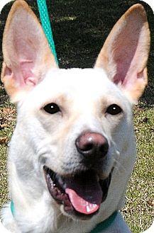 German Shepherd Dog/Labrador Retriever Mix Dog for adoption in Wakefield, Rhode Island - SANDY(WHAT A STORY--PLS READ!!