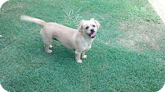 Dachshund/Shih Tzu Mix Dog for adoption in Longview, Texas - Shelby