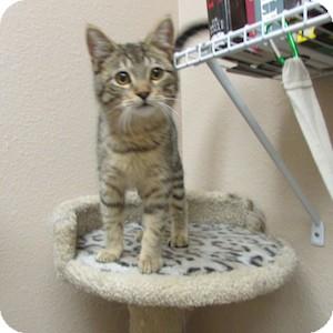 Domestic Shorthair Kitten for adoption in Gilbert, Arizona - Smokey