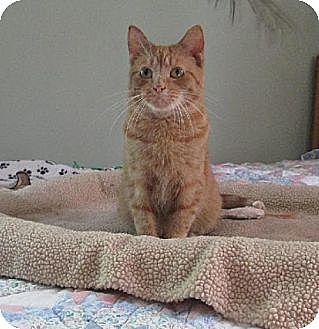 Domestic Shorthair Cat for adoption in St. Paul, Minnesota - Tuffy