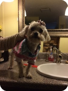 Bichon Frise/Maltese Mix Dog for adoption in Medford, Massachusetts - Skyla