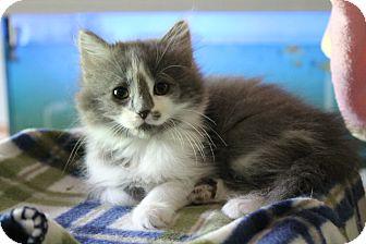 Domestic Longhair Kitten for adoption in Naperville, Illinois - Creampuff