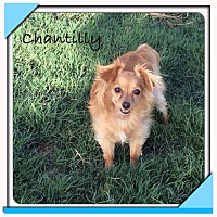 Adopt A Pet :: Chantilly - San Antonio, TX