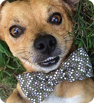 Jack Russell Terrier/Chihuahua Mix Dog for adoption in Hagerstown, Maryland - Cooper