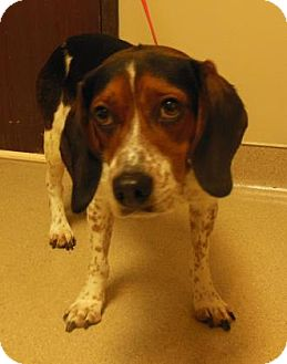Beagle Mix Dog for adoption in Gary, Indiana - Grant