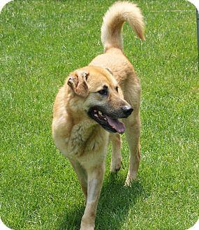 Shepherd (Unknown Type)/Retriever (Unknown Type) Mix Dog for adoption in Mt. Prospect, Illinois - Buddy
