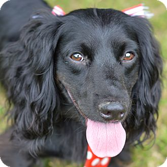 Dachshund/Cocker Spaniel Mix Dog for adoption in Denver, Colorado - Shawn