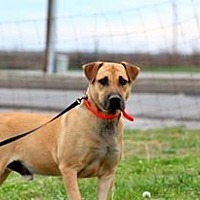Labrador Retriever/Hound (Unknown Type) Mix Dog for adoption in Hopkinsville, Kentucky - Mack