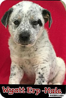 Australian Cattle Dog Mix Puppy for adoption in Harrisonburg, Virginia - Wyatt Erp (pom-dc)