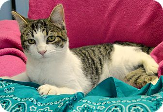 Domestic Shorthair Cat for adoption in South Haven, Michigan - Neil