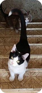 Domestic Shorthair Cat for adoption in Warren, Michigan - Batwoman