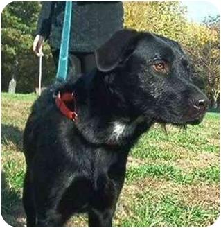Irish Wolfhound/Retriever (Unknown Type) Mix Dog for adoption in Silver Spring, Maryland - Smokey