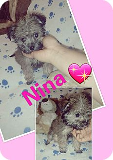 Schnauzer (Miniature)/Terrier (Unknown Type, Small) Mix Puppy for adoption in LAKEWOOD, California - Nena