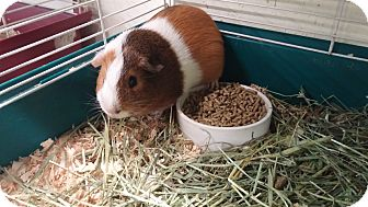 Guinea Pig for adoption in Aurora, Colorado - Wolfgang