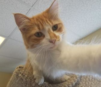 Domestic Longhair/Domestic Shorthair Mix Cat for adoption in Larned, Kansas - Eliza Doolittle