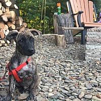 Adopt A Pet :: Niko - Ridgefield, CT