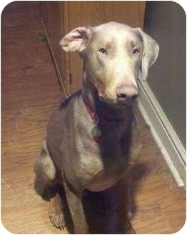 Doberman Pinscher Mix Dog for adoption in New Richmond, Ohio - Otto--adopted!!
