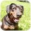 Photo 2 - Beagle/Dachshund Mix Dog for adoption in New Fairfield, Connecticut - Abby