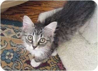 Domestic Mediumhair Kitten for adoption in St. Louis, Missouri - Cutie Patootie