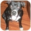 Photo 3 - American Pit Bull Terrier Dog for adoption in Morristown, New Jersey - Elena-GREAT WITH CATS!