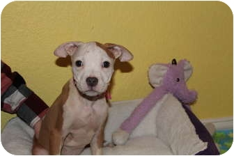 American Bulldog/American Pit Bull Terrier Mix Puppy for adoption in Rowlett, Texas - Orchid
