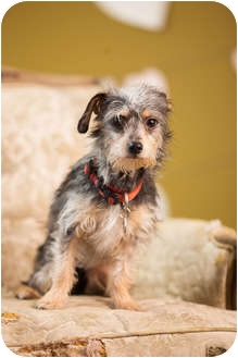 Yorkie, Yorkshire Terrier Mix Dog for adoption in Portland, Oregon - Skyler