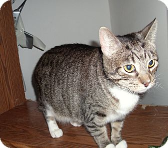 Domestic Shorthair Cat for adoption in Port Clinton, Ohio - Amber