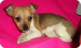 Chihuahua Mix Puppy for adoption in Allentown, Pennsylvania - Minxie