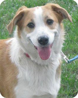 Australian Shepherd/Corgi Mix Dog for adoption in Schaumburg, Illinois - Honey