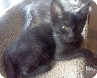 Domestic Shorthair Kitten for adoption in Hendersonville, Tennessee - Little Jack