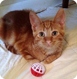 Domestic Shorthair Cat for adoption in Troy, Michigan - Dantonio