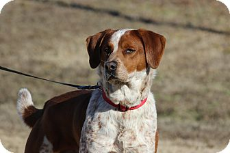 Pointer/Redbone Coonhound Mix Dog for adoption in Coventry, Rhode Island - Coco