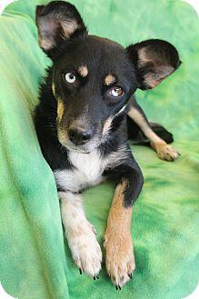 Dachshund/Miniature Pinscher Mix Dog for adoption in Hamburg, Pennsylvania - McKenzie
