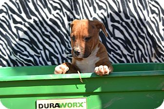 Pit Bull Terrier Mix Puppy for adoption in Asheboro, North Carolina - Amelia