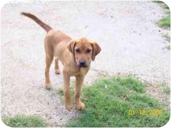 Labrador Retriever/Redbone Coonhound Mix Puppy for adoption in Carthage, Texas - Ruff