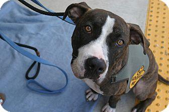 American Pit Bull Terrier Mix Dog for adoption in La Habra, California - Brando (Courtesy Listing)