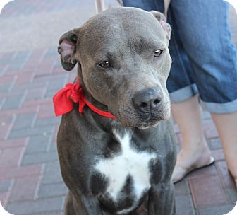 American Pit Bull Terrier Dog for adoption in Las Vegas, Nevada - STEVE OSMUN