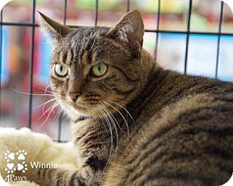 Domestic Shorthair Cat for adoption in Merrifield, Virginia - Winnie