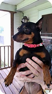 Miniature Pinscher Dog for adoption in Hanna City, Illinois - Minnie