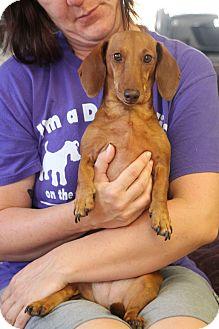 Dachshund Mix Dog for adoption in Huntsville, Alabama - Annie