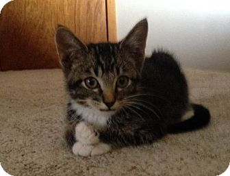 Domestic Shorthair Kitten for adoption in Ogallala, Nebraska - Maverick