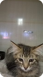 Maine Coon Kitten for adoption in West Hills, California - Cammy