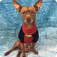 Adopt A Pet :: Percy - Lake Elsinore, CA
