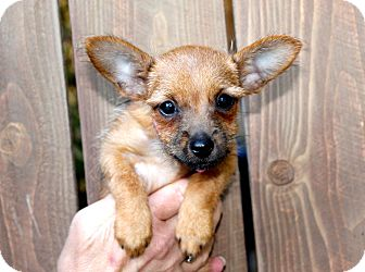Chihuahua/Terrier (Unknown Type, Small) Mix Puppy for adoption in Los Angeles, California - Bambi - 2.5 pounds