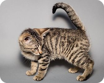 American Shorthair Kitten for adoption in Rochester, New York - Yori